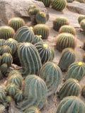 Cactos do crescimento vegetal do parque na terra Imagens de Stock Royalty Free