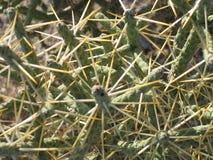 Cactos do deserto Imagens de Stock