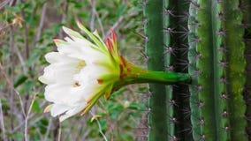 cactos do mandacaru, com sua flor branca bonita que abre somente fotos de stock