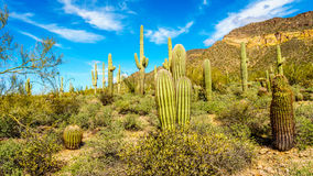 Cactos do tambor e do Saguaro semi na paisagem do deserto do parque regional da montanha de Usery perto de Phoenix o Arizona Fotos de Stock Royalty Free