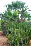 Cactos e palma Fotografia de Stock Royalty Free