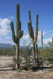 Cactos em México, Baja Califorina Sur Foto de Stock