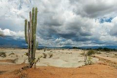 Cactos grandes no deserto vermelho, deserto do tatacoa, Colômbia, latino amer Imagens de Stock