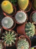 cactos Multi-verdes do bebê Imagem de Stock Royalty Free