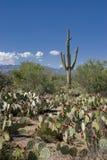 Cactos no deserto de Sonoran Fotos de Stock