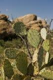 Cactos no deserto de Sonoran Imagens de Stock Royalty Free