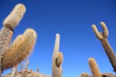 Cactos no Isla del Pescado Imagem de Stock