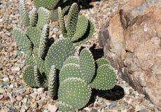 Cactos no jardim botânico do deserto Fotos de Stock Royalty Free