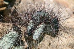 Cactos no jardim botânico do deserto Fotografia de Stock Royalty Free