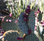 Cactos no jardim botânico do deserto Foto de Stock Royalty Free