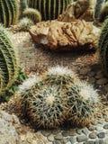 cactos pequenos no potenciômetro no jardim exterior Fotografia de Stock