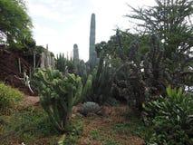 Cactos tropicais Imagem de Stock