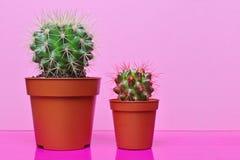 Cactos verdes pequenos no fundo cor-de-rosa brilhante Imagem de Stock
