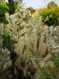 cactus†‹Baum von Thornsâ€-‹in†‹garden†‹decoration†‹ stockfoto