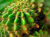Cactusde A Imagen de archivo