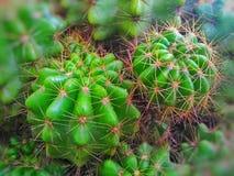 Cactusde A Fotografía de archivo