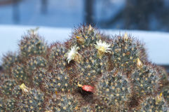 Cactus à la maison fleurissant Photos stock