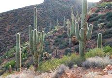 Cactus éclairé à contre-jour Photos libres de droits