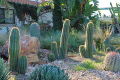 Cactus éclairés à contre-jour avec le matin Sun Photos libres de droits