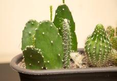 Cactus épineux vert dans la maison Photographie stock