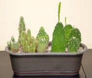 Cactus épineux vert dans la maison Image stock