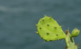 The cactus. A branch of cactus in closeup royalty free stock photo