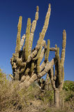 Cactus. Tall Saguaro cactus in a Baja Mexico desert Stock Image