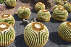 Cactus. Type of spiny succulent plant Royalty Free Stock Image