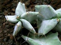 Cactus. A closeup of a cactus royalty free stock image