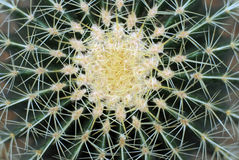 Cactus. A close up view of the green flesh and needles of a cactus plant Stock Photos