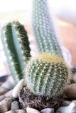 Cactus. Closeup of cacti with stones around them stock photos
