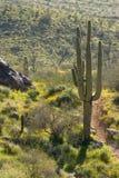 Cactus. Spring-time Cactus Scene near Phoenix, Arizona Stock Image