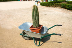 Cactus. Big cactus in a wheelbarrow Royalty Free Stock Image