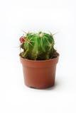 Cactus Photo stock