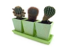 Cactus. Three different cactuses in pots over white background Stock Image