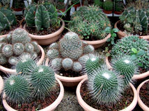 Cactus. Some cactus in a garden Royalty Free Stock Image