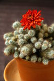 Cactus. With red flower on a brown background Stock Photo