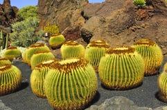 Cactus. A pile of Echinocactus grusonii, cactus typical of southern hemisphere countries stock photos
