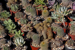 Cactus. Different types of cactus expose for sell Stock Image