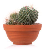Cactus. Plant succulent pot plants, isolated on white background Royalty Free Stock Photography