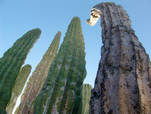 Cactus. In baja royalty free stock image