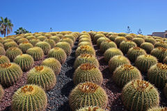 Cactus 2 Royalty Free Stock Photo