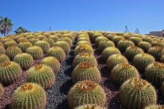 Cactus 2 Royalty Free Stock Photo