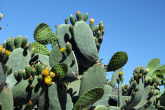 Cactus 2. Flowers and flesby leaves on a cactus stock images