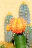 Cactus. Closeup Of An Orange Cactus Royalty Free Stock Image