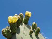 Cactus. A cactus with yellow blooms against a brilliantly blue sky Stock Image