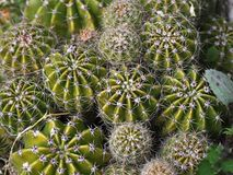 Cactus. Close photo of diferente cactus Royalty Free Stock Images