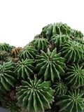 Cactus. Many cactuses royalty free stock photos
