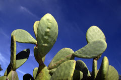 Cactus. A prickly cactus under a sunny blue sky Royalty Free Stock Photos