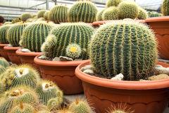Cactus. Ball plants in pot arranged in row Stock Photos